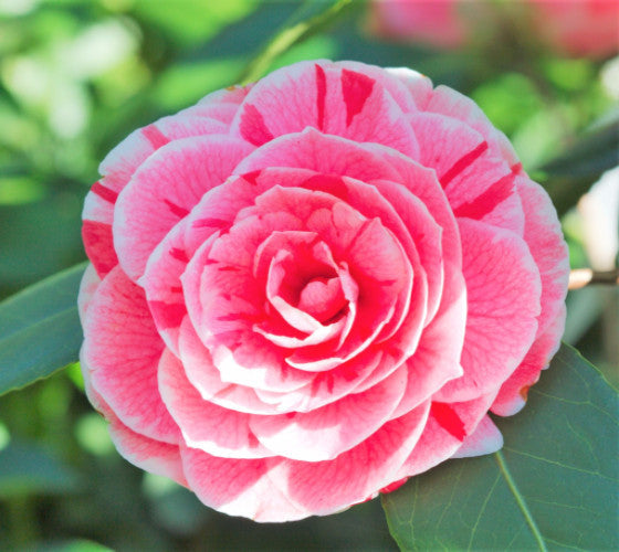 Dads pink camellia japonica new life nursery dads pink camellia japonica mightylinksfo