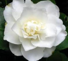 fifth avenue white camellia japonica plants