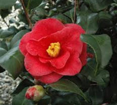 Greensboro Red Camellia Camellia Japonica 'greensboro red'