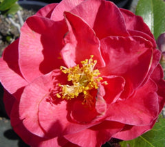 Lady Laura Pink Camellia Japonica
