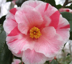 Lady Vansittart Variegated Camellia