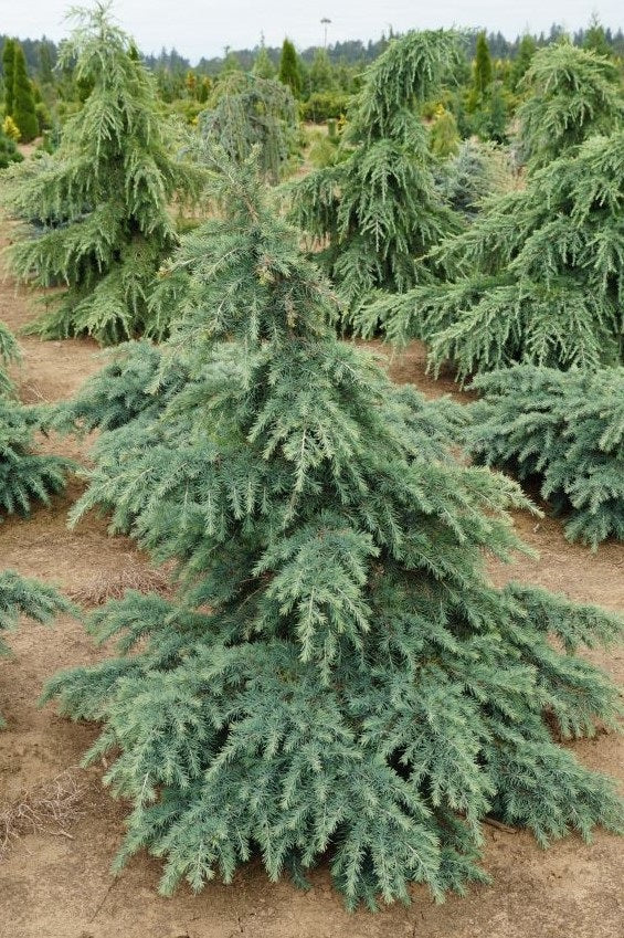 Divinely Blue Deodar Cedar New Life Nursery