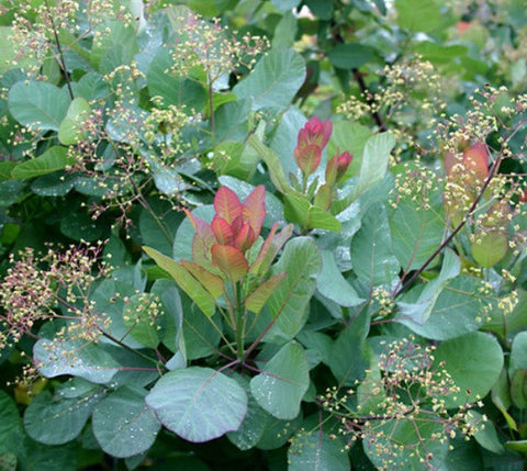 Old Fashioned Smokebush Tree ( cotinus )