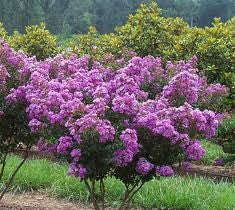 Catawba Purple Crape Myrtle