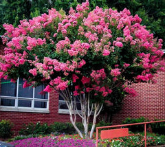 sold out pink velour crape myrtle tree