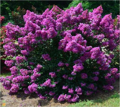 Purple Magic Dwarf Crape Myrtle