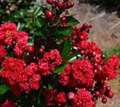 Ruffled Red Magic Crape Myrtle