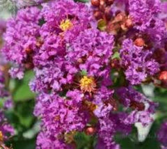 Twilight Purple Crape Myrtle lagerstroemia indica twilight
