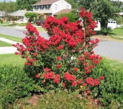 Victor ( Dwarf ) Red Crape Myrtle lagerstroemia indica victor