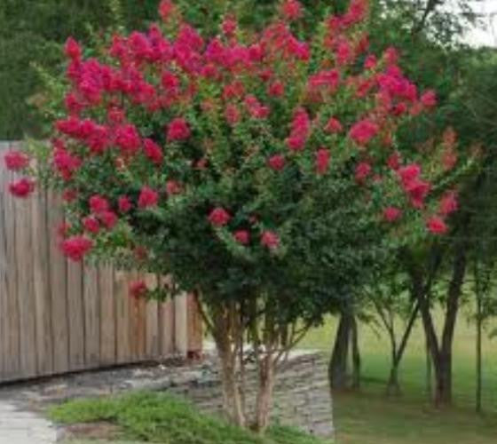 Red crape myrtle tree blackjack ace race