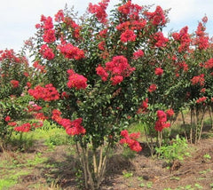 Carolina Beauty Red Crape Myrtle