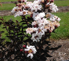 Ebony and Ivory Crape Myrtle