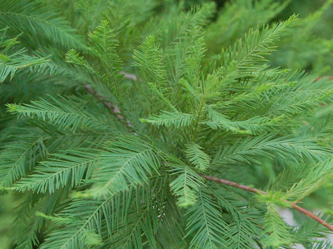 Bald Cypress Tree ( Taxodium distichum )