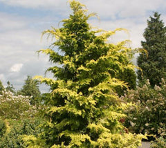 Crippsii Golden Hinoki Cypress