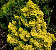 Golden Dwarf Hinoki Cypress