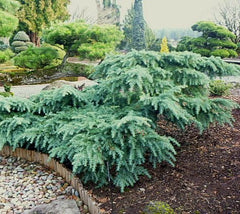 Prostrate Beauty Deodar Cedar