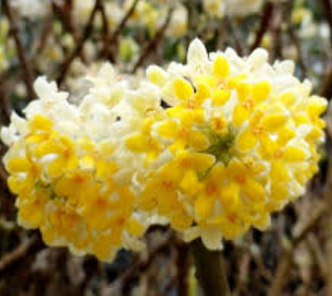 Nanjings Gold Edgeworthia ( Paper Bush )