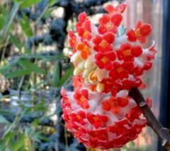 Edgeworthia Akebono Red Paper Bush