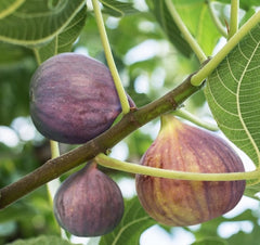 Brown Turkey Fig ( ficus carica )