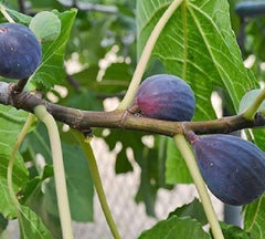 LSU Purple Fig ( ficus )