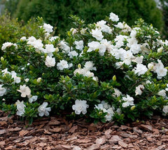 Crown Jewel Dwarf Gardenia