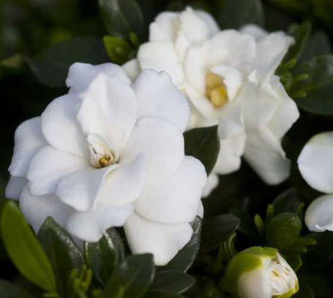 Double Mint Dwarf Gardenia