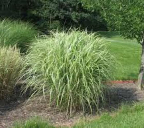 Variegated Japanese Silver Grass ( miscanthus )