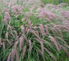 Karley Rose Dwarf Fountain Grass