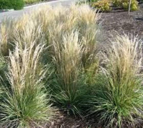 Overdam Variegated Feather Reed Grass