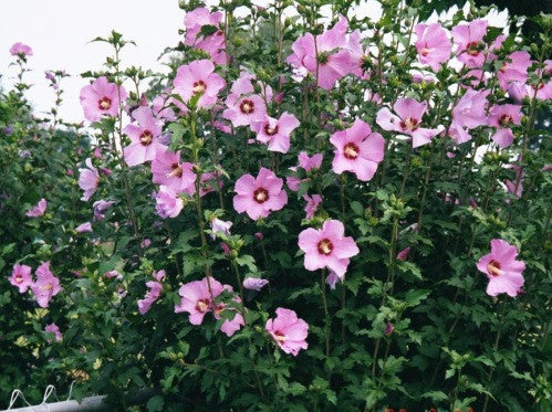 aphrodite hibiscus althea rose of sharon