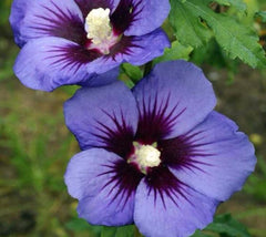 HAWAII™ Blue Hibiscus