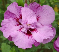 Tahiti™ Hibiscus ( Althea ) - Rose Of Sharon