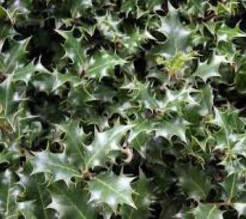 Dragon Lady Holly Tree ( ilex aquipernyi )