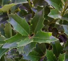 Oakleaf Holly Tree ilex conaf