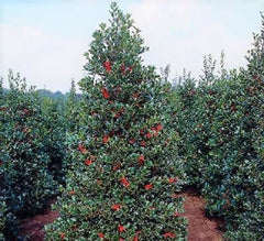 Robin™ Red Holly Tree