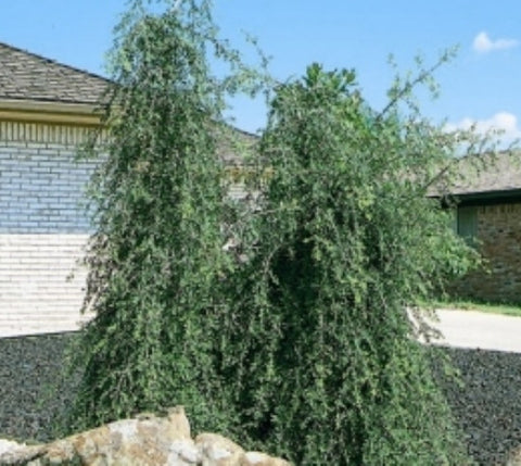 Weeping Yaupon Holly Tree