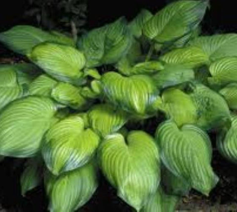 Guacamole Variegated Hosta