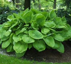 Sum & Substance Hosta Hosta x 'Sum & Substance'