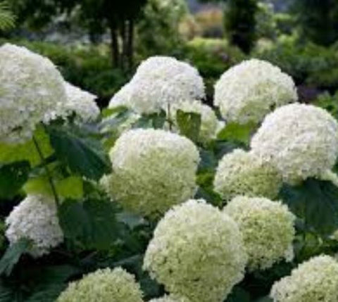 Incrediball Smooth Hydrangea Arborescens