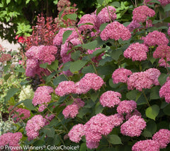 Invincibelle Spirit Smooth Hydrangea