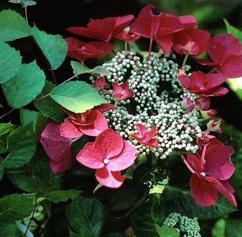 Lady In Red Lacecap Hydrangea