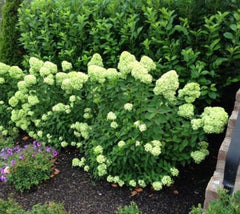 Little Lime Hardy Hydrangea hydrangea paniculata little lime