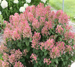 Little Quick Fire® ( Dwarf ) Hardy Hydrangea