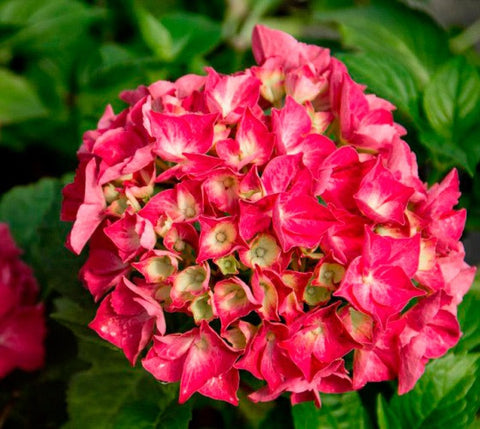 Red Sensation Next Generation Mophead Hydrangea