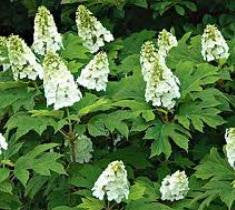 snow queen oakleaf hydrangea plants