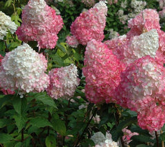 Strawberry Sundae Hydrangea  Hydrangea paniculata 'Rensun' STRAWBERRY SUNDAE PPAF