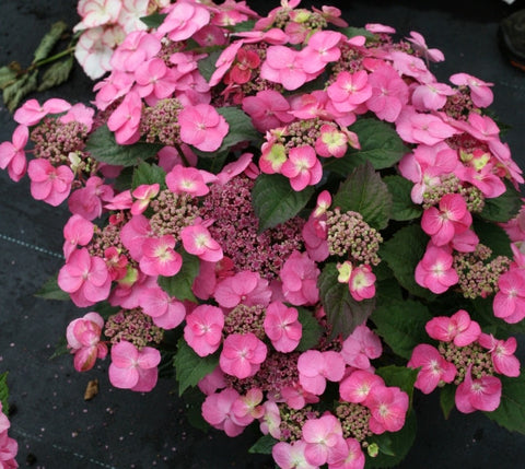 Tuff Stuff™ Reblooming Mountain Hydrangea