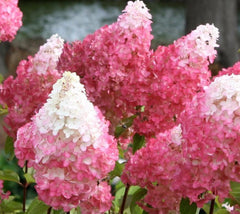 Vanilla Strawberry Hydrangea   ( hydrangea paniculata 'vanilla strawberry' )