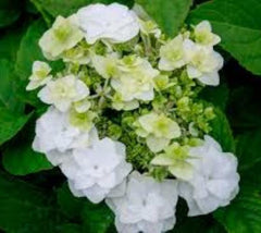 Wedding Gown White Lacecap Hydrangea  Hydrangea macrophylla 'dancing snow'