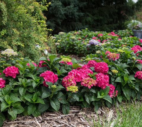 Summer Crush Endless Summer® Hydrangea